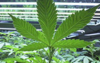 Wetenschappelijk onderzoek naar Cannabis